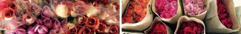 rosas rojas costa rica