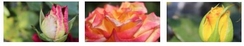 rosas costa rica